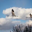 Whooping Cranes In Flight 2015-2 by Thomas Young