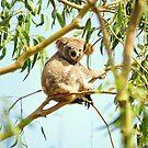 Koala Lookout by trekarts