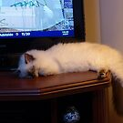Molly, ragdoll kitten, bored with TV. by ronsphotos
