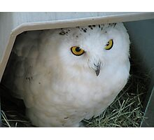 Snowy Owl in Shelter Photographic Print