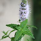 Mint In Flower by aussiebushstick