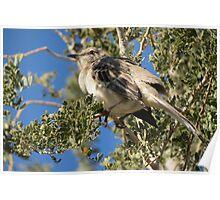Northern Mockingbird ~ Shading  Poster