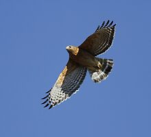 Red Shoulder Hawk by Gregg Williams