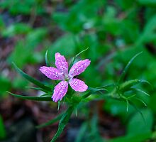Deptford Pink Wildflower - Dianthus armeria by MotherNature