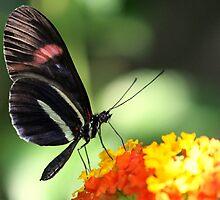 My favourite Butterfly by Rose Landry