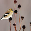 Goldfinch on Seed Heads by Bill McMullen