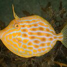 Mosaic leatherjacket - Eubalichthys mosaicus by Andrew Trevor-Jones