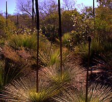 North Head Manly - Grass Tree by miroslava