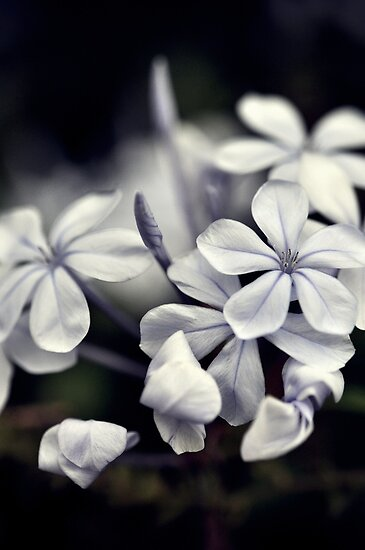 Plumbago by Karen E Camilleri