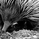 North Head Manly - echidna by miroslava