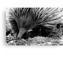 North Head Manly - echidna Canvas Print