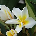 Beautiful Frangipani by Shoots