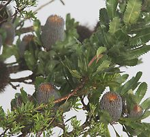 Wicked Banksia by Shoots
