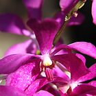 Singapore Orchid by Shoots