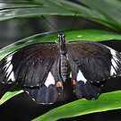 Orchard Swallowtail Butterfly by Trudi Hipworth