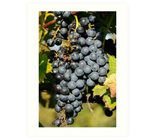 Cabernet Grapes on the Vine Art Print