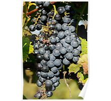 Cabernet Grapes on the Vine Poster