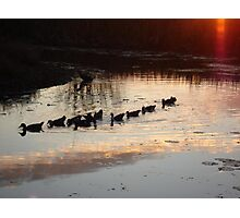 FOLLOW THE LEADER - MUSCOVY DUCKS AT SUNSET Photographic Print