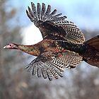 Turkey Flying by Jim Cumming