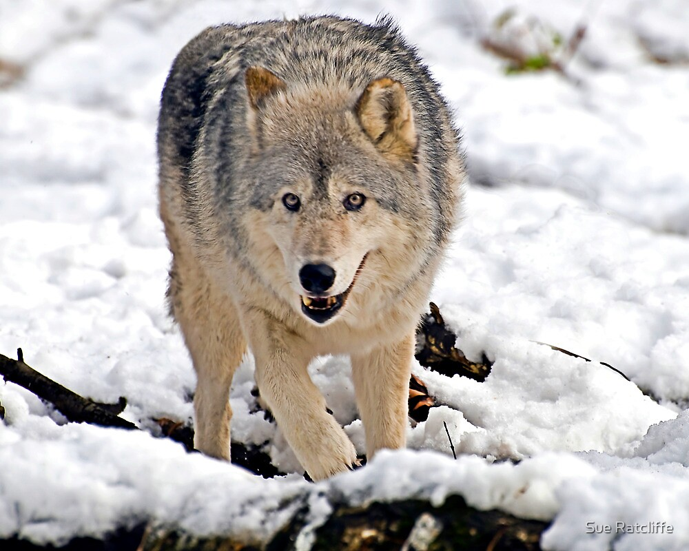 Female Gray Wolf by Sue Ratcliffe