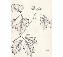 Drawing - Grape Ivy leaf stem Photographic Print