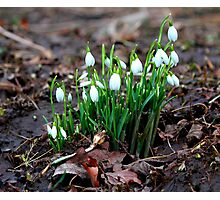 First Snowdrops ( Galanthus nivalis)   of 2012 8th January. Photographic Print