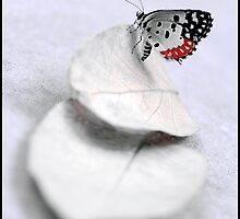 Red Pierrot butterfly on guava leaves by suneetwalia