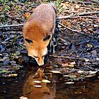 A Fox & Her Reflection by Kathy Baccari