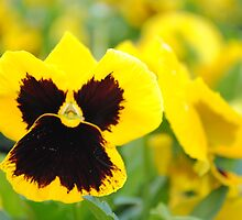 Bright Yellow Pansy by Shaun  Gabrielli