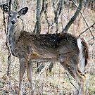 Doe, A Deer, A Female Deer... by tom j deters