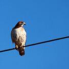 Hawk on A Wire by Renee Blake