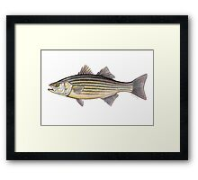 Striped Bass (Morone saxatilis) Framed Print