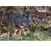 Coyote On The Hunt  Photographic Print