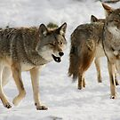 Coyotes by Carole Brunet