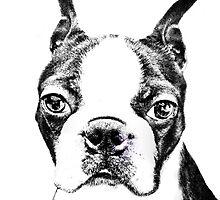 Boston Terrier  by Marcia Rubin