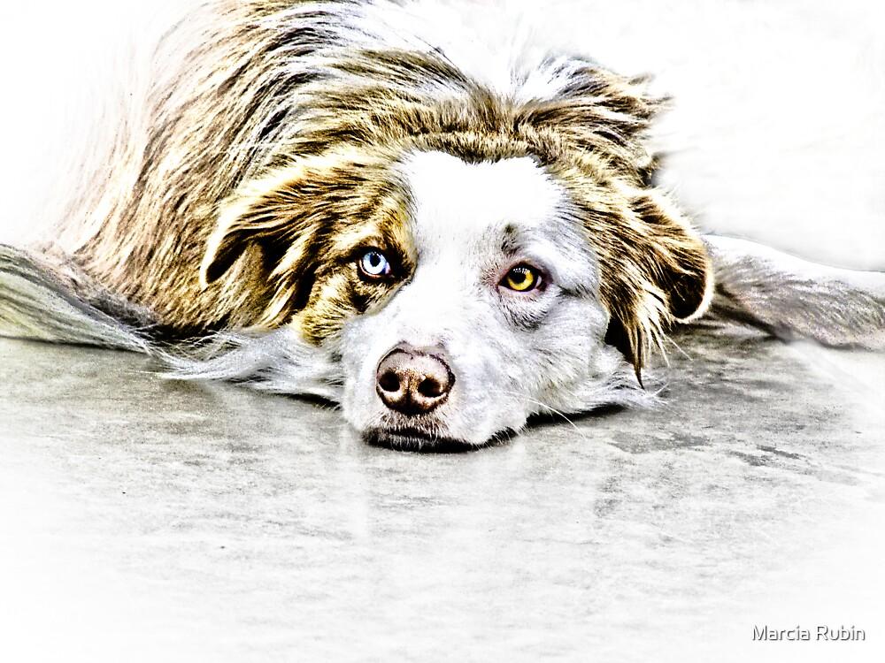 Australian Shepherd by Marcia Rubin