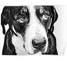 Guilty Swiss Mountain Dog Poster