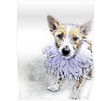 Wire Haired Jack Russell Terrier Poster
