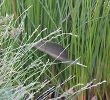 feather in the reeds by lindabulley