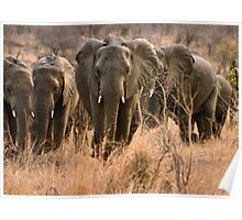 """For the love of elephants"" - African elephant (Loxodonta africana) Poster"