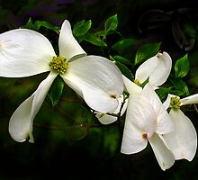 Dogwood Flowers by cclaude
