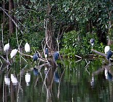 Blue Herons And White Egrets by phil decocco