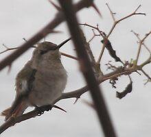Humming Bird - Colibri by PtoVallartaMex
