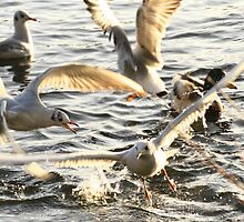 Seagull Squabble by JackJacovou