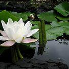 Flower of lotus by BANDERUS MARTIN