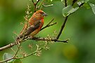 Male Red Crossbill by Sandy Stewart