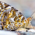 Australian Painted Lady Butterfly by Teale Britstra