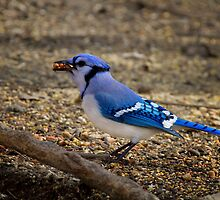 Over Achiever - Blue Jay by John Absher