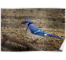 Over Achiever - Blue Jay Poster