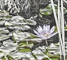Faded water lily by hereswendy